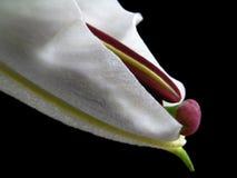 Eine weiße Lilie Lizenzfreie Stockbilder