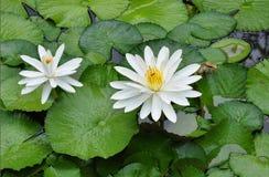 Eine weiße Lilie der Vollblüte und eine blühende whilte Lilie stockfotos