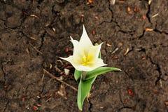 Eine weiße Narzissenblume auf trockenem Land Lizenzfreies Stockbild
