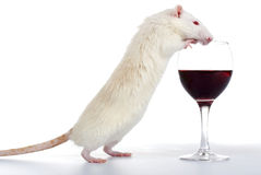 Eine weiße Ratte Lizenzfreie Stockfotos