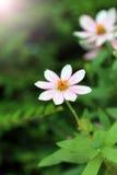 Eine weiße rosa Blume der Anemone Stockbild