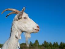 Eine weiße Ziege Lizenzfreies Stockfoto