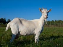 Eine weiße Ziege Stockbilder