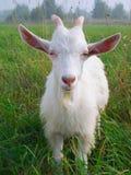 Eine weiße Ziege Lizenzfreie Stockbilder