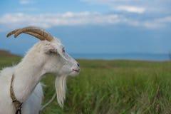 Eine weiße Ziege, die in einer Wiese weiden lässt, blickt in Richtung des Meeres Lizenzfreie Stockfotografie