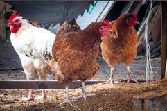 Eine weißen und zwei braunen Hühner Lizenzfreies Stockfoto