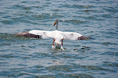 Eine weißer Pelikan-Landung stockfotos