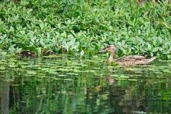 Eine weibliche Ente und einige Babyenten Stockfoto