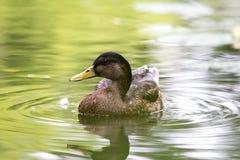 Eine weibliche europäische Ente auf dem Wasser stockbild