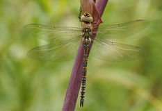 Eine weibliche Herbst-Mosaikjungfer-Aeshna-mixta Libelle hockte auf Angelikadisambigusierung Stockbilder
