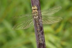 Eine weibliche Herbst-Mosaikjungfer-Aeshna-mixta Libelle hockte auf Angelikadisambigusierung Stockfoto