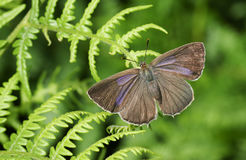 Eine weibliche purpurrote Hairstreak-Schmetterling Favonius-Eiche hockte auf einem Adlerfarnblatt Stockfoto