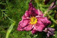 Eine weinartige Lilie Lizenzfreie Stockfotografie