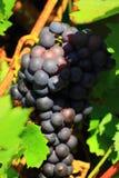 Eine Weintraube unter dem Laub Stockfoto