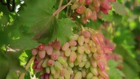 Eine Weintraube, weiße Trauben auf einer Rebe Reife Trauben auf der Rebe für die Herstellung des Weißweins stock video
