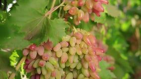 Eine Weintraube, weiße Trauben auf einer Rebe Reife Trauben auf der Rebe für die Herstellung des Weißweins stock footage