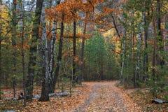 Eine Weise durch den Abendherbstwald um die Bäume mit gelben Blättern Lizenzfreies Stockbild