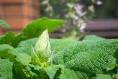 Eine weise Knospe der jungen Beschaffenheit mit grünen saftigen Blättern Lizenzfreie Stockfotografie