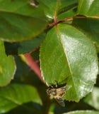 Eine wenige Biene auf dem grünen Urlaub lizenzfreie stockfotos