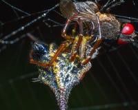 Eine werdene Fliege ein Opfer einer gehörnten Spinne Lizenzfreie Stockfotografie