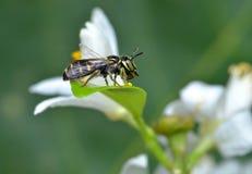Eine Wespe Stockbild