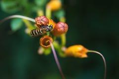 Eine Wespe auf einer orange Blume, über Unschärfehintergrund Lizenzfreie Stockfotografie