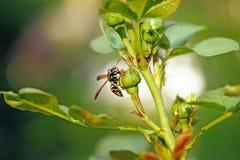 Eine Wespe, die auf einem rosehead sitzt stockfotografie