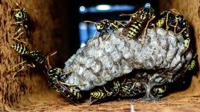 Eine Wespe ist jedes mögliches Insekt der Bestellung Hautflügler und der Unterordnung Apocrita, die weder eine Biene noch eine Am Stockfoto