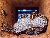 Eine Wespe ist jedes mögliches Insekt der Bestellung Hautflügler und der Unterordnung Apocrita, die weder eine Biene noch eine Am Stockbild