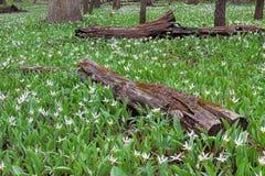 Eine Wiedergeburt von weißen Forellen-Lilien stockbilder