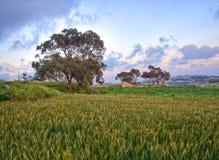 Eine Wiese mit einem Weizenfeld und -bäumen, die an einem Standort genommen wurden, nannte Fawwara in Malta Stockbilder