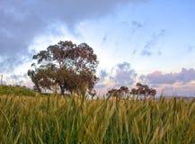 Eine Wiese mit einem Weizenfeld und -bäumen, die an einem Standort genommen wurden, nannte Fawwara in Malta Lizenzfreie Stockfotos