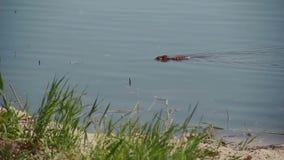 Eine wilde Bisamrattenschwimmen in einem Sumpf stock video