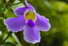 Eine wilde Blume im Purpur Lizenzfreie Stockbilder