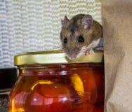 Eine wilde braune Hausmaus auf ein Glas angefüllte Pfeffer in einem Küchenschrank Stockbilder