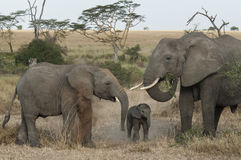 Eine wilde Elefantfamilie lizenzfreies stockfoto