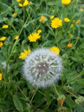 Eine wilde kugelförmige Blume stockbild