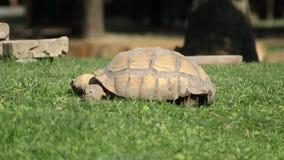 Eine wilde Schildkröte, die grünes Gras isst stock video footage