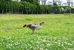 Eine Wildente an der Straße von Frankfurt Gras essend Stockbilder