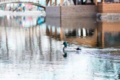 Eine Wildente schwimmt ?ber einem Stadtteich stockfotos