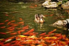 Eine Wildente schwimmt stockbilder