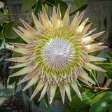 Eine wirkliche große Blüte Stockbilder