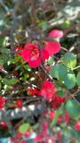 Eine wunderbare Kirschbaumniederlassung mit Blumen Lizenzfreie Stockfotos