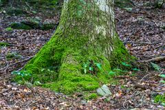Eine Wurzel eines Baums bedeckt mit Moos Lizenzfreie Stockfotos