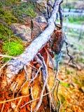 Eine Wurzel im Wald Stockbild