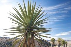 Eine Yuccaanlage im Texas-Hügelland Stockbild