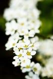 Eine Zeichenkette der weißen Blumen Lizenzfreie Stockfotografie