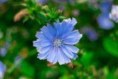 Eine Zichorieblumennahaufnahme Medizinisch und Nutzpflanzen Lizenzfreies Stockfoto