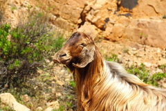 Eine Ziege auf dem Berg Stockfotos