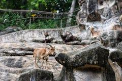 Eine Ziege auf dem Felsen lizenzfreie stockfotografie